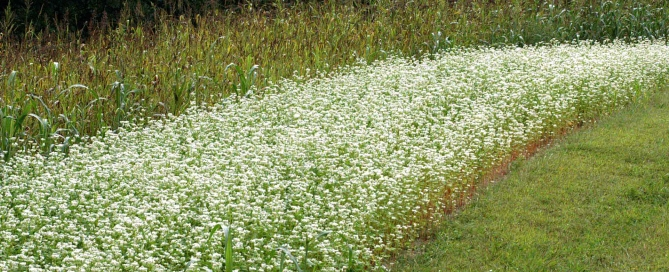 Buckwheat Sorgum Plots - Photo Credit - Jim Moyer, Old Crowe Farm
