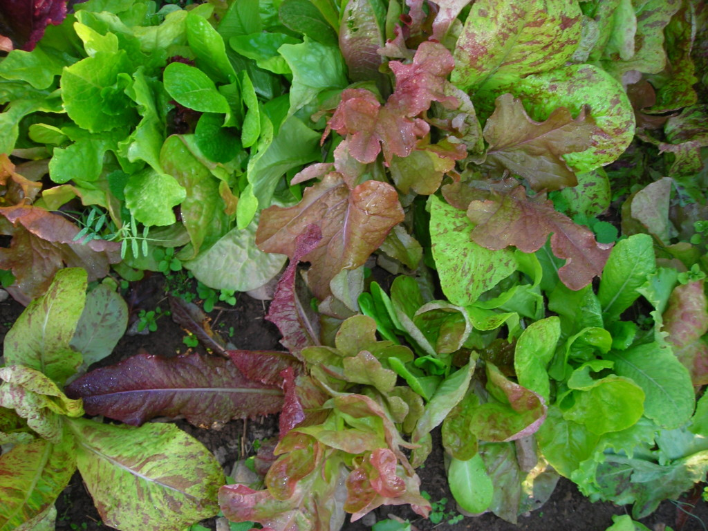 garden tips for late summer harvest daily and sow weekly for fall